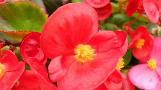 如何养护四季海棠