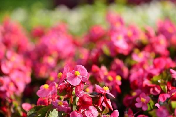四季海棠如何采种及越冬
