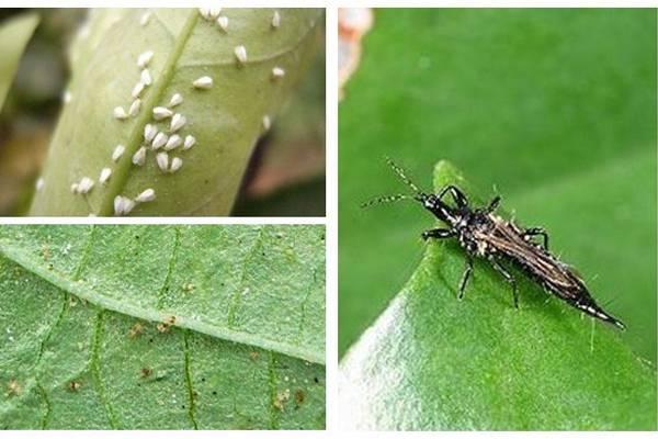 一品红虫害及防治办法