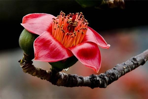 木棉花的繁殖方法