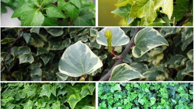 常春藤常见品种