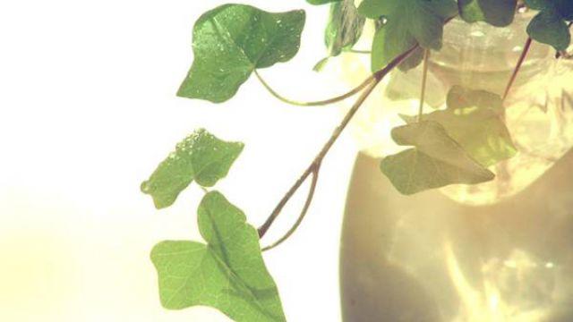 常春藤怎么水培