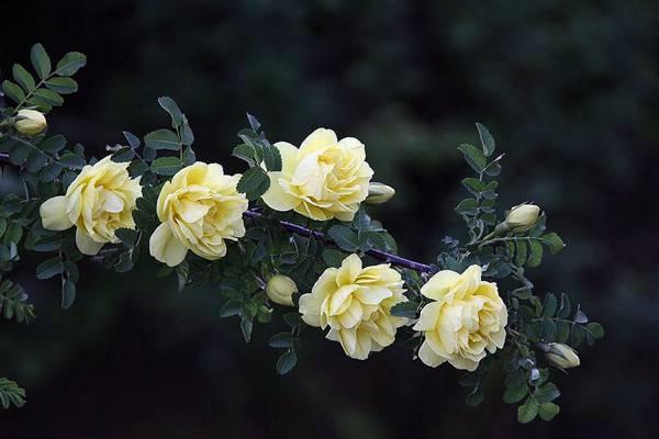 蔷薇花的品种鉴赏(图文)