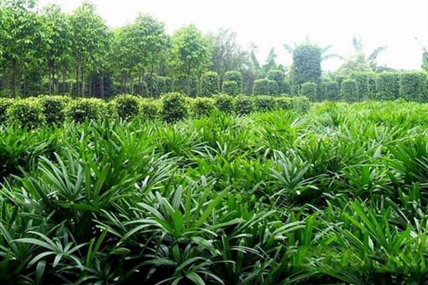 棕竹的应用价值