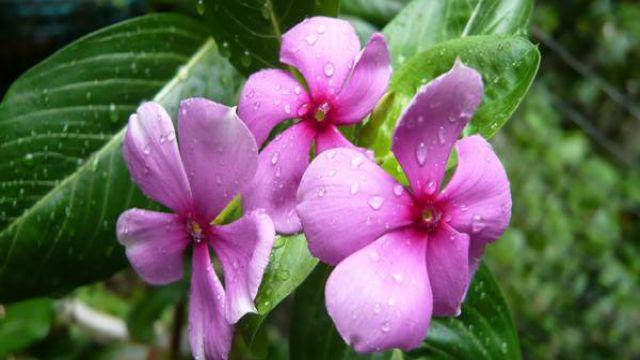 怎么判断花卉是否缺水