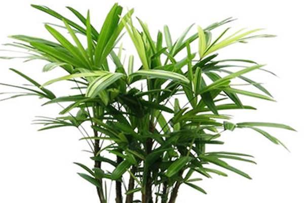 棕竹   合适客厅养的水养植物