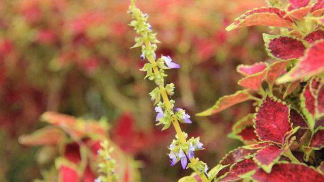 彩叶草什么时候开花