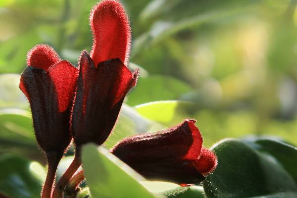 口红花常见品种