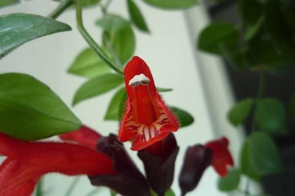口红花什么时候开花
