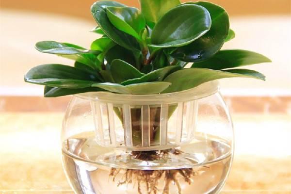 水培植物的日常管理方法和注意事项