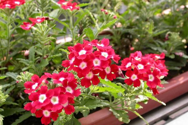 美女樱不开花怎么办?如何让美女樱四季开花?
