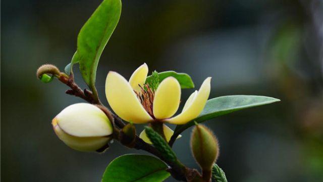 怎么控制含笑花的花期