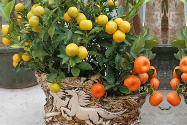 金桔的虫害防治方法