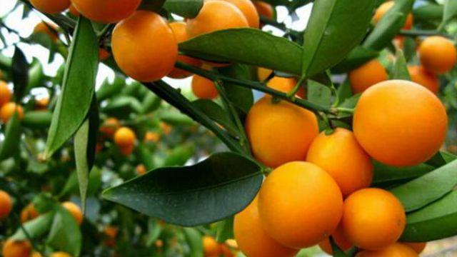 金桔的种植方法和管理
