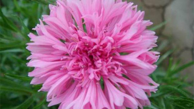 矢车菊种植要注意什么