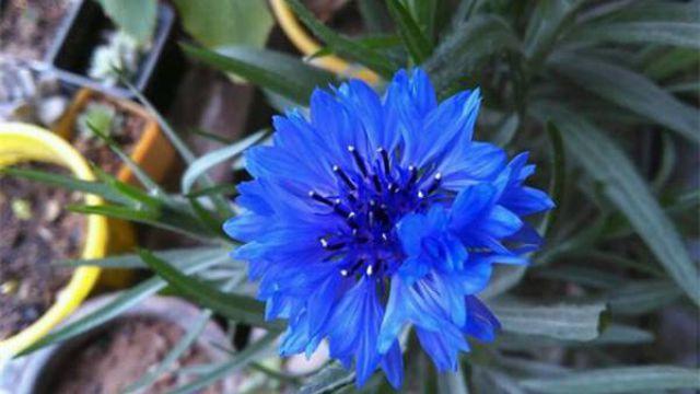 矢车菊怎么播种
