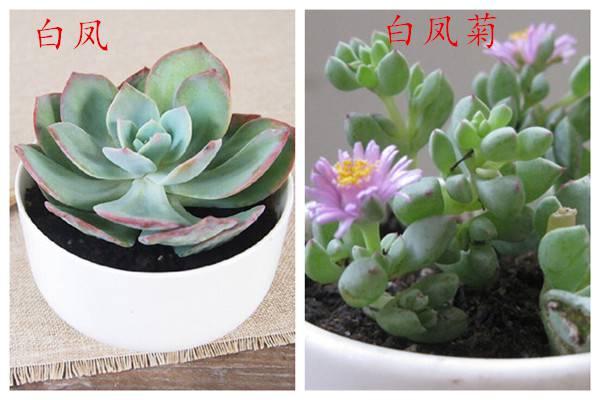 白凤和白凤菊的区别