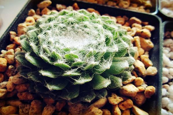 蛛丝卷绢的病虫害及防治方法