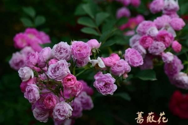 家庭种植蔷薇花有什么好处