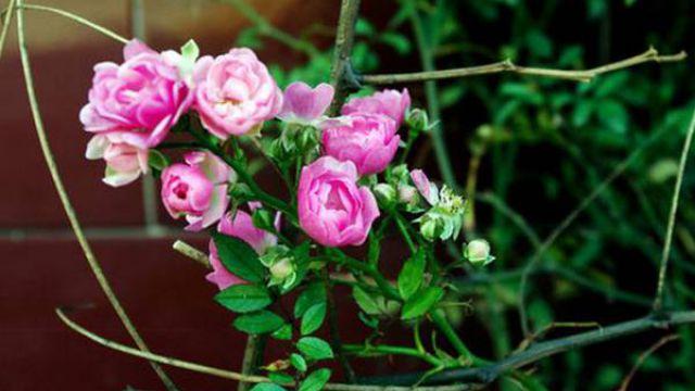 蔷薇花怎么浇水