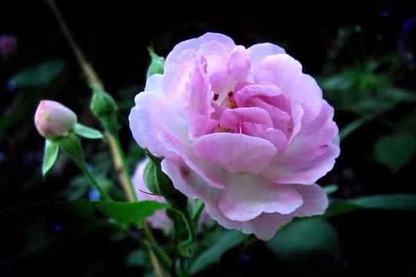 蔷薇花病害及防治方法