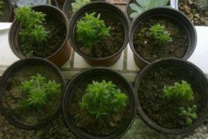 斧叶椒草常见病虫害及防治方法