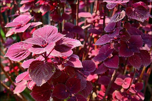 紫苏的病虫害及防治方法
