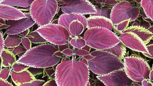 紫苏的变异品种
