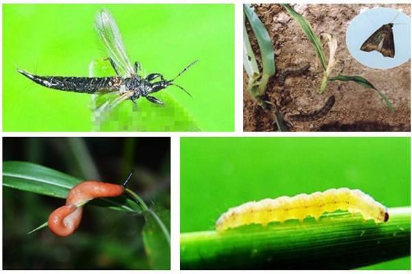 唐菖蒲(剑兰)虫害及防治方法