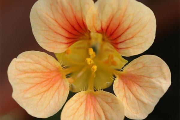 旱金莲的花语是什么