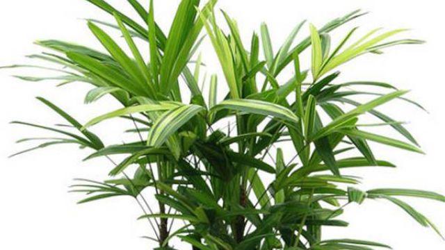 盆栽棕竹浇水施肥技巧