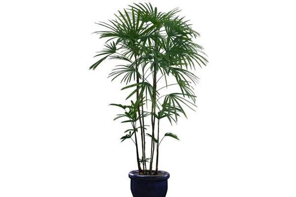 棕竹病害及防治方法