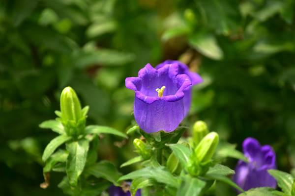 风铃草病虫害及防治方法