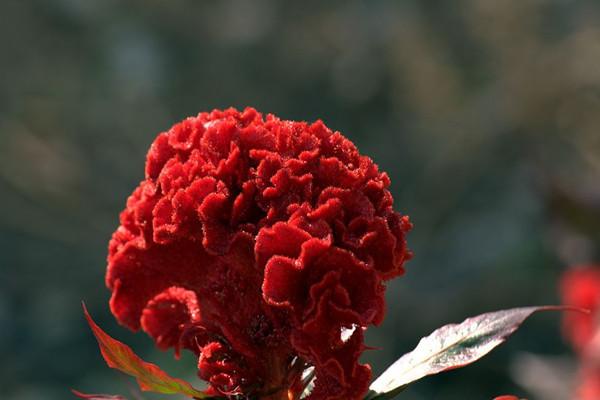 鸡冠花的虫害及防治方法