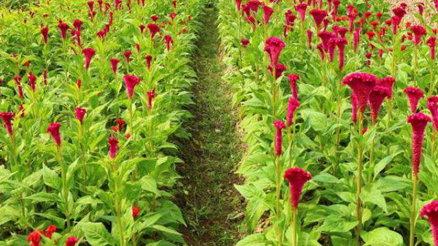 鸡冠花怎么播种