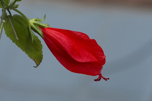 悬铃花开花吗