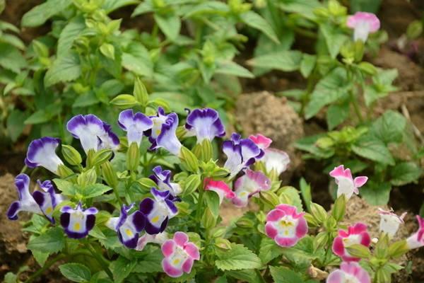夏堇的病虫害及其防治
