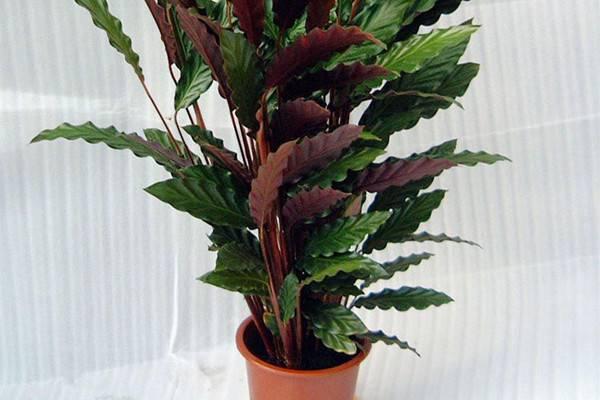 双线竹芋的虫害及防治方法