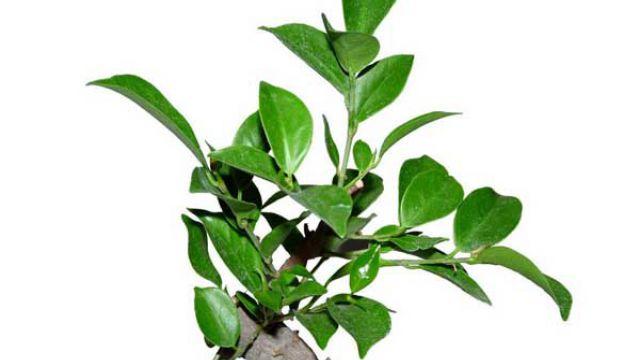 榕树盆景病虫害防治方法