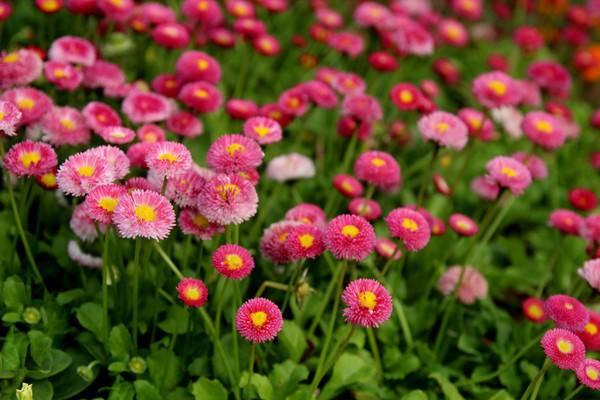 翠菊的品种