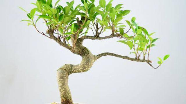 榕树的水培方法