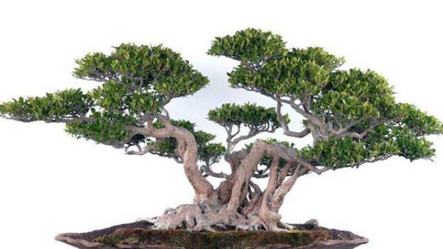 冬季同样要保持榕树的活力