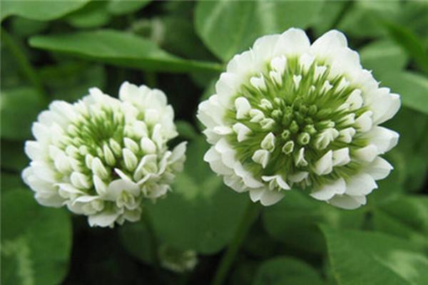 白车轴草盆栽怎么养