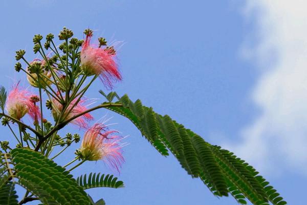 合欢花的养殖方法和注意事项
