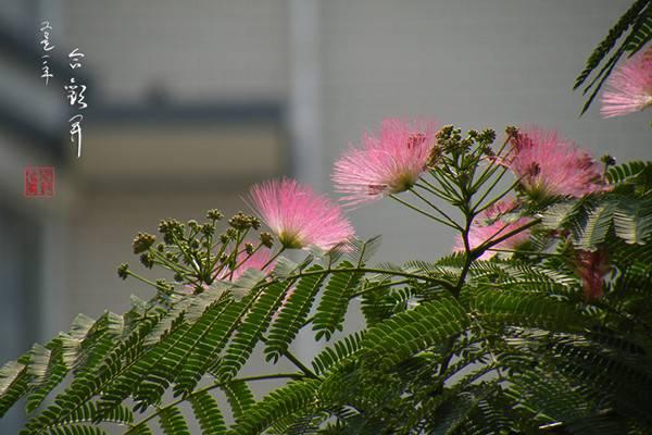 合欢花的移栽和管理