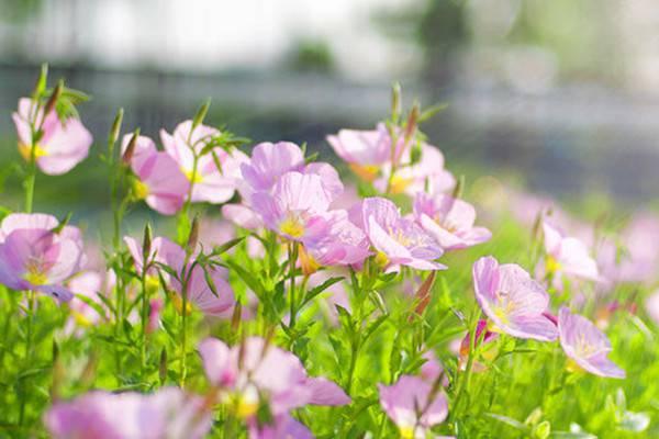 月见草的病虫害及防治方法