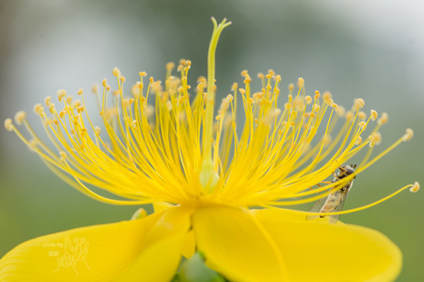 金丝梅常见虫害及防治方法