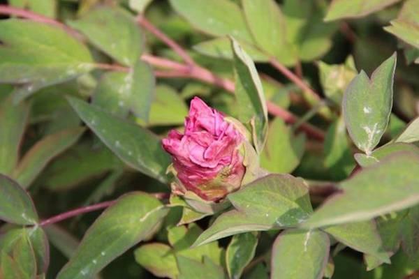 牡丹花常见病害及防治方法