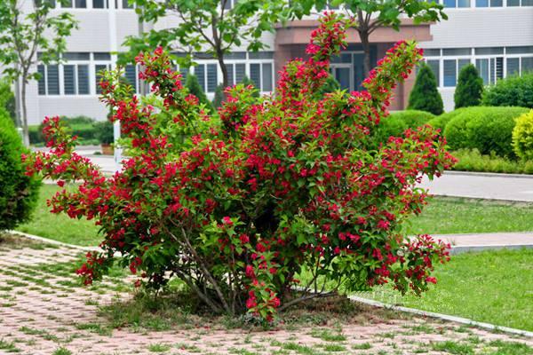 锦带花的养殖方法和注意事项