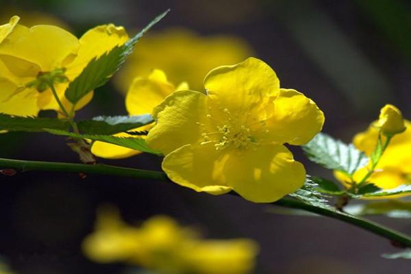 棣棠花的病害及防治方法